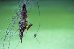 Olive backed sunbirdYellow-bellied sunbird. Royalty Free Stock Image