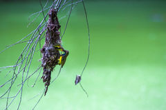 Olive backed sunbirdYellow-bellied sunbird. Stock Images