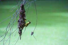 Olive backed sunbirdYellow-bellied sunbird. Stock Photo