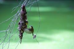 Olive backed sunbirdYellow-bellied sunbird. Royalty Free Stock Photos