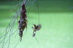 Olive backed sunbirdYellow-bellied sunbird. Stock Photography