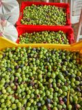 Olive. Baskets filled with freshly harvested olives, ready to become olive oil Stock Photos