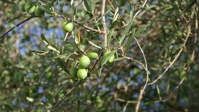 Olive Berries on the Branch Tree stock footage
