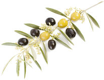Olive and  blossom. Blossoming branch of an olive tree and tinned olives    on a white background Stock Photo