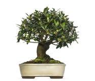 Free Olive Bonsai Tree, Olea Europaea, Isolated Royalty Free Stock Photos - 37141168