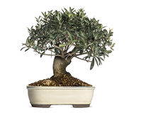 Olive, bonsai tree, olea europaea, isolated. On white royalty free stock photo