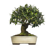 Olive bonsai tree, Olea europaea, isolated Royalty Free Stock Photos
