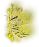 Olive border design. Branch of an olive tree design over white Royalty Free Stock Photos