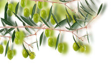 Olive border design. Branch of an olive tree design over white Stock Photos