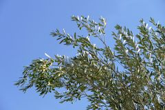 Olive Branch Photo stock