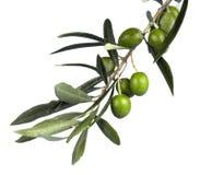 Olive Branch fotografia stock