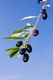 Olive branch. With ripe black olives Stock Photo