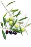 Olive branch. On white background Stock Images