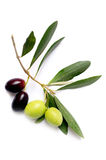 Olive branch. On white background Stock Image