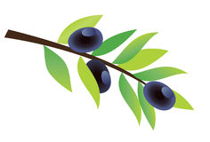 Olive branch Stock Photos