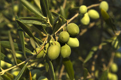 Olive branch 2 Royalty Free Stock Photo