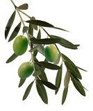 Olive branch. Olive plant, branch with leaves and olives Stock Photo