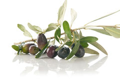 Olive branch Stock Image