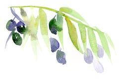 Olive branch. Watercolour handmade tender olive branch illustration royalty free illustration