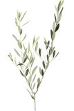 Olive branch. And leaves isolated on white, clipping path included Stock Photography