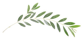 Olive branch Royalty Free Stock Image