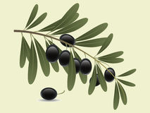 Olive branch. An olive branch with leaves and fruits stock illustration