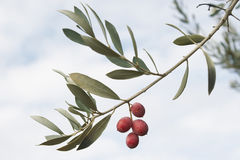 Olive branch. With olives in the field Stock Photography
