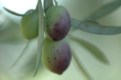 Olive Branch. Olives ripening stock image