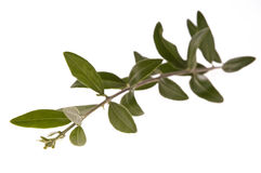 Olive branch Stock Images
