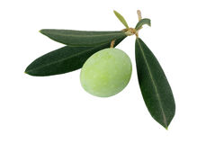 Olive on a branch stock photo