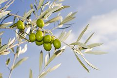Olive Branch. On blue sky background Royalty Free Stock Images