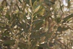 Olive Branch Fotografie Stock Libere da Diritti