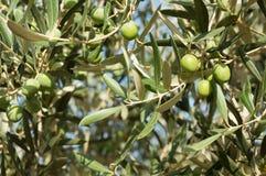 Olive Branch Foto de archivo