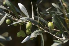 Olive Branch Stock Afbeeldingen