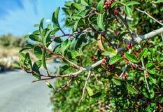 Olive Branch Foto de Stock