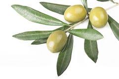 Olive Branch Fotografie Stock