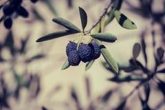Olive Branch imagen de archivo