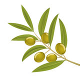 Olive branch. Green olives on branch, detailed vector illustration Stock Image