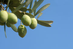 Olive branch Stock Photo