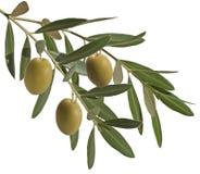 Olive Branch lizenzfreies stockbild