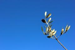 Olive Branch Stockfoto