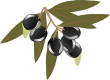 Olive branch Stock Photography