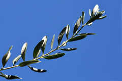 Olive Branch Foto de Stock Royalty Free