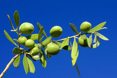Olive branch against the blue sky Stock Photography
