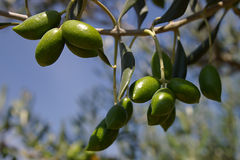 Olive branch on a background of the blue sky. Stock Photo