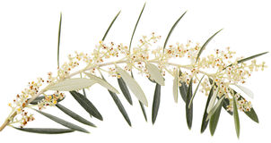 Olive branch in bloom. Olive twig with blossom in spring  isolated on a white background Stock Images