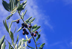 Olive branch on a blue background. A olive branch with the sky on the background Royalty Free Stock Photo
