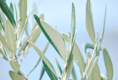 Olive branch. Closeup, on the background of the sea Royalty Free Stock Images