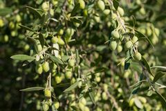 Olive branch detail tree detail close-up royalty free stock photography