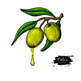 Olive branch with a drop of olive oil vector illustration. Hand drawn plant in vintage style. Royalty Free Stock Photography
